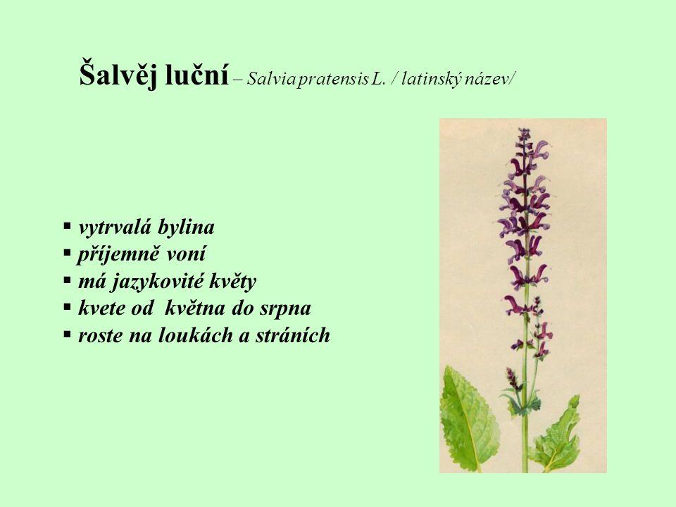 Šalvěj luční – Salvia pratensis L. / latinský název/