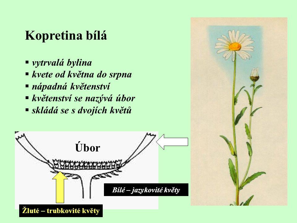 Bílé – jazykovité květy