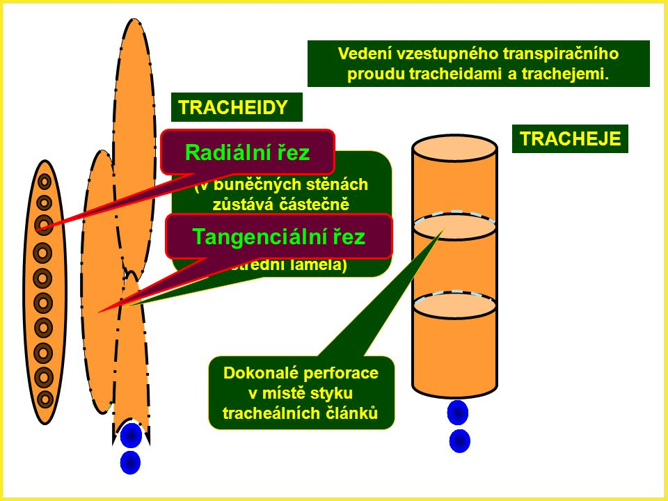 Radiální řez Tangenciální řez