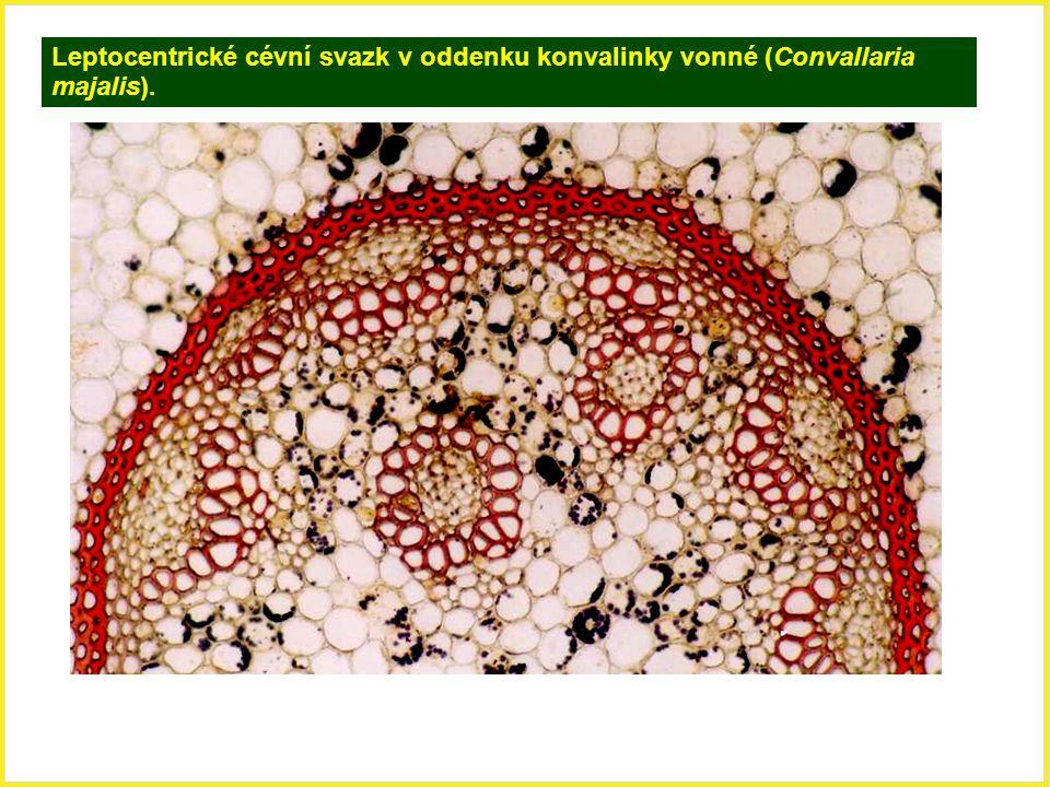 Leptocentrické cévní svazk v oddenku konvalinky vonné (Convallaria majalis).