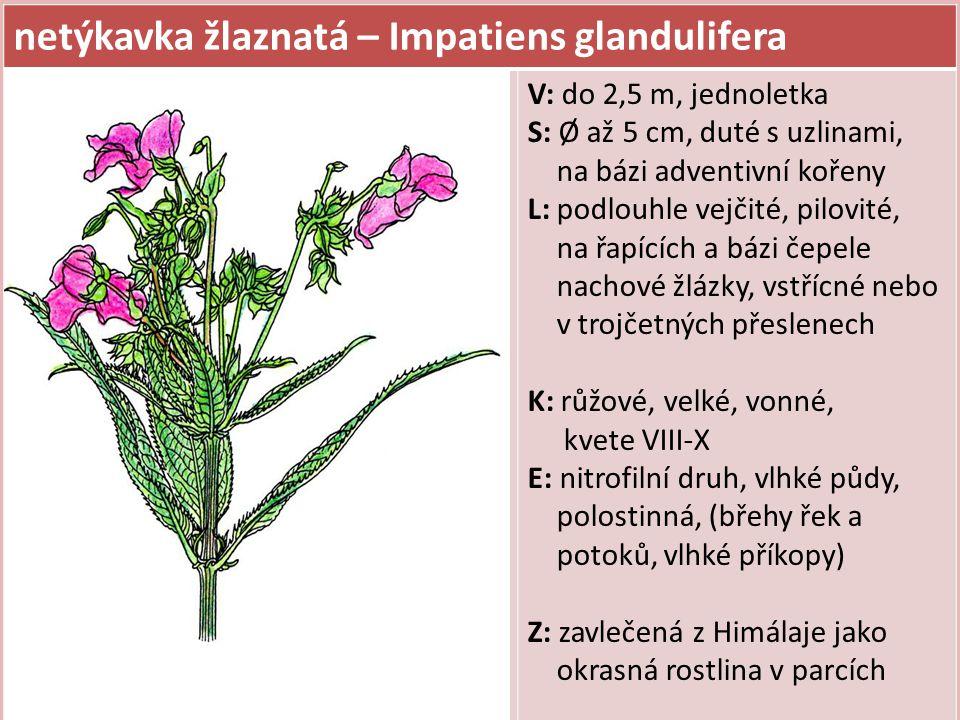 netýkavka žlaznatá – Impatiens glandulifera
