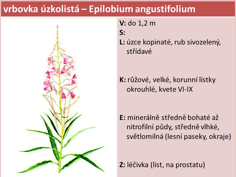 vrbovka úzkolistá – Epilobium angustifolium