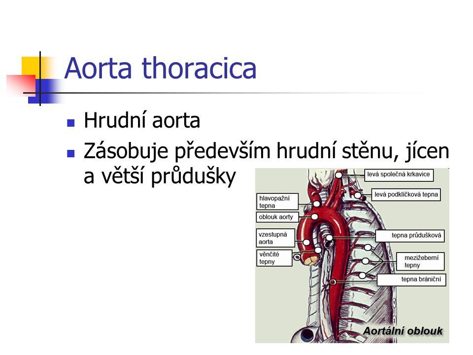Aorta thoracica Hrudní aorta