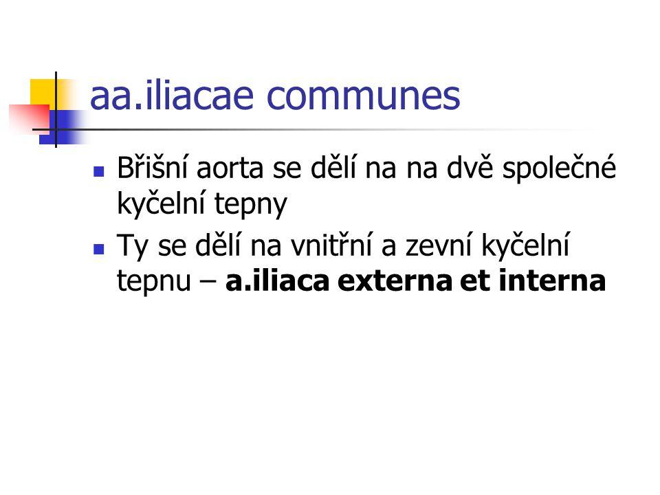 aa.iliacae communes Břišní aorta se dělí na na dvě společné kyčelní tepny.