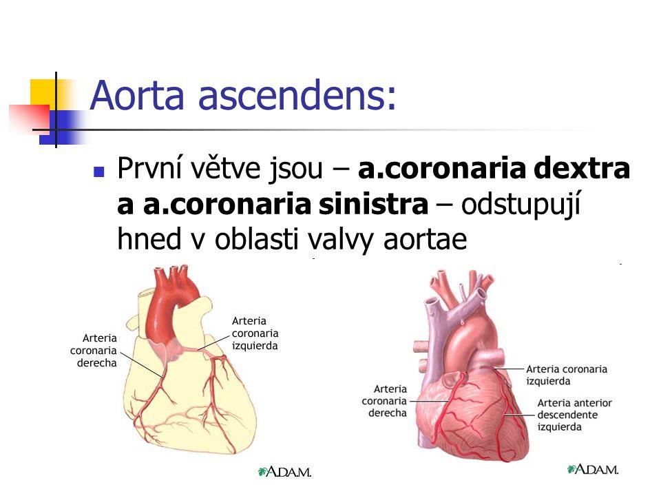 Aorta ascendens: První větve jsou – a.coronaria dextra a a.coronaria sinistra – odstupují hned v oblasti valvy aortae.