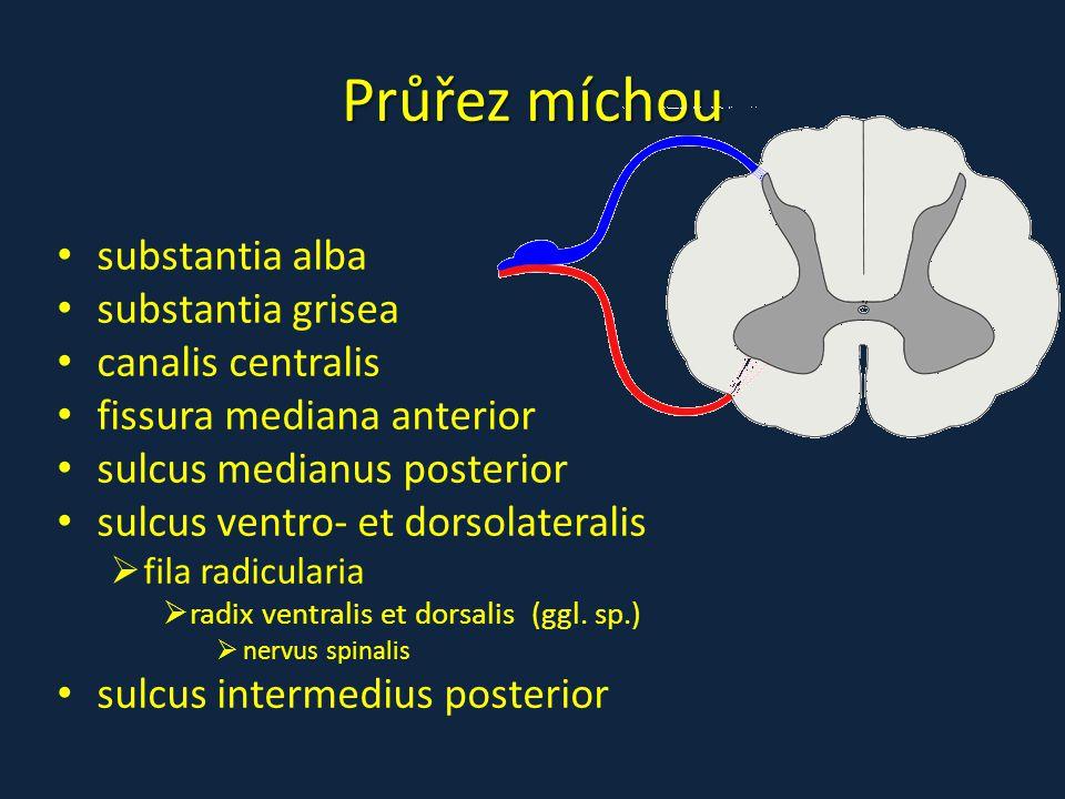 Průřez míchou substantia alba substantia grisea canalis centralis