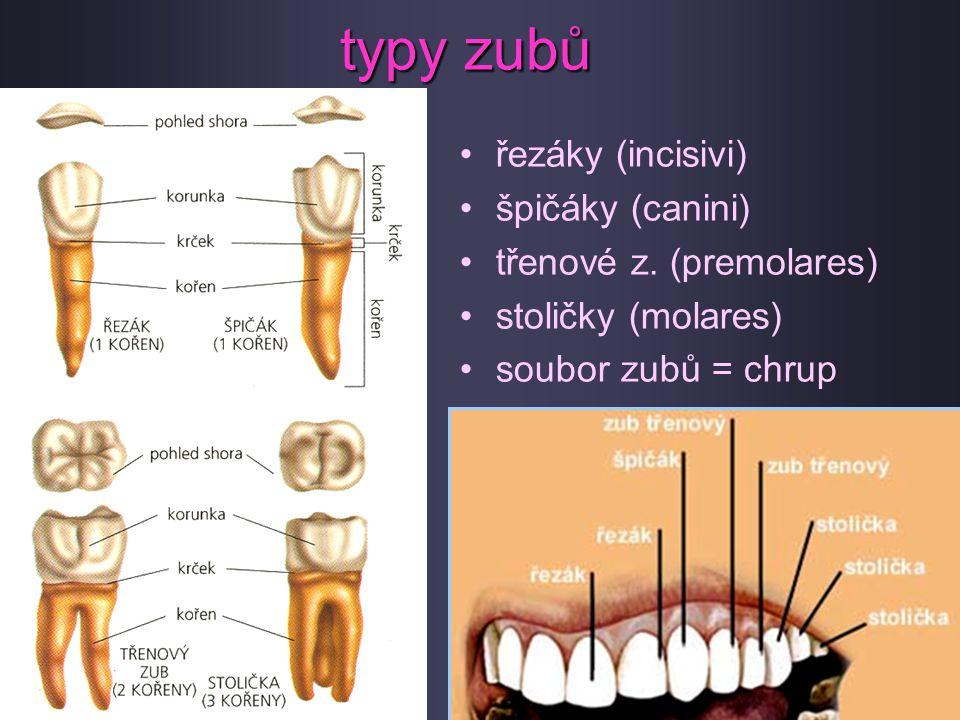 typy zubů řezáky (incisivi) špičáky (canini) třenové z. (premolares)