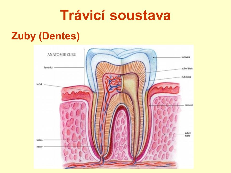 Trávicí soustava 4 typy zubů 2 řezáky 1 špičák 2 třenové zuby