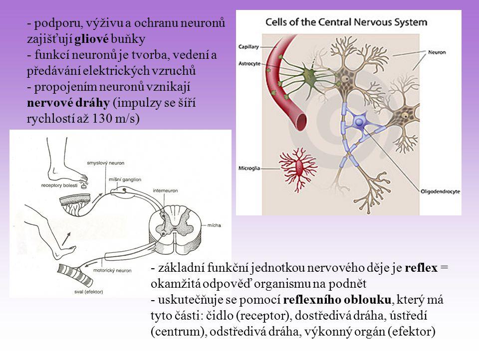 - podporu, výživu a ochranu neuronů zajišťují gliové buňky