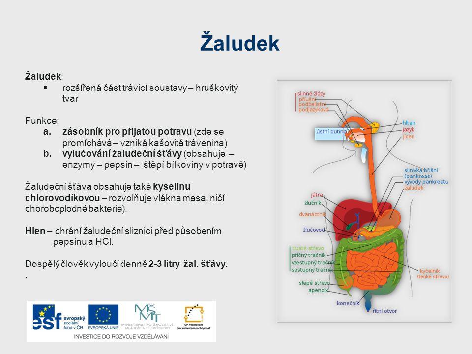 Žaludek Žaludek: rozšířená část trávicí soustavy – hruškovitý tvar