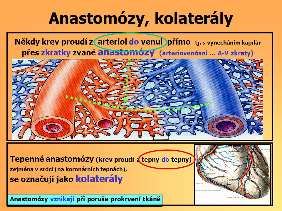 Anastomózy, kolaterály