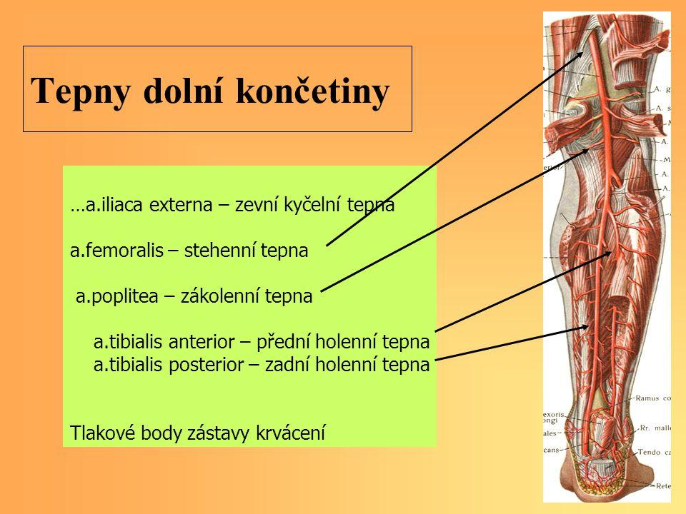 Tepny dolní končetiny …a.iliaca externa – zevní kyčelní tepna