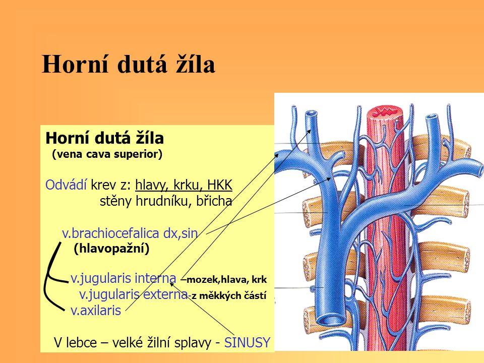 Horní dutá žíla Horní dutá žíla Odvádí krev z: hlavy, krku, HKK