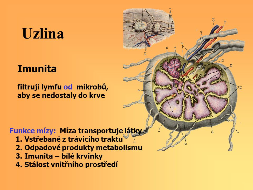 Uzlina Imunita filtrují lymfu od mikrobů, aby se nedostaly do krve