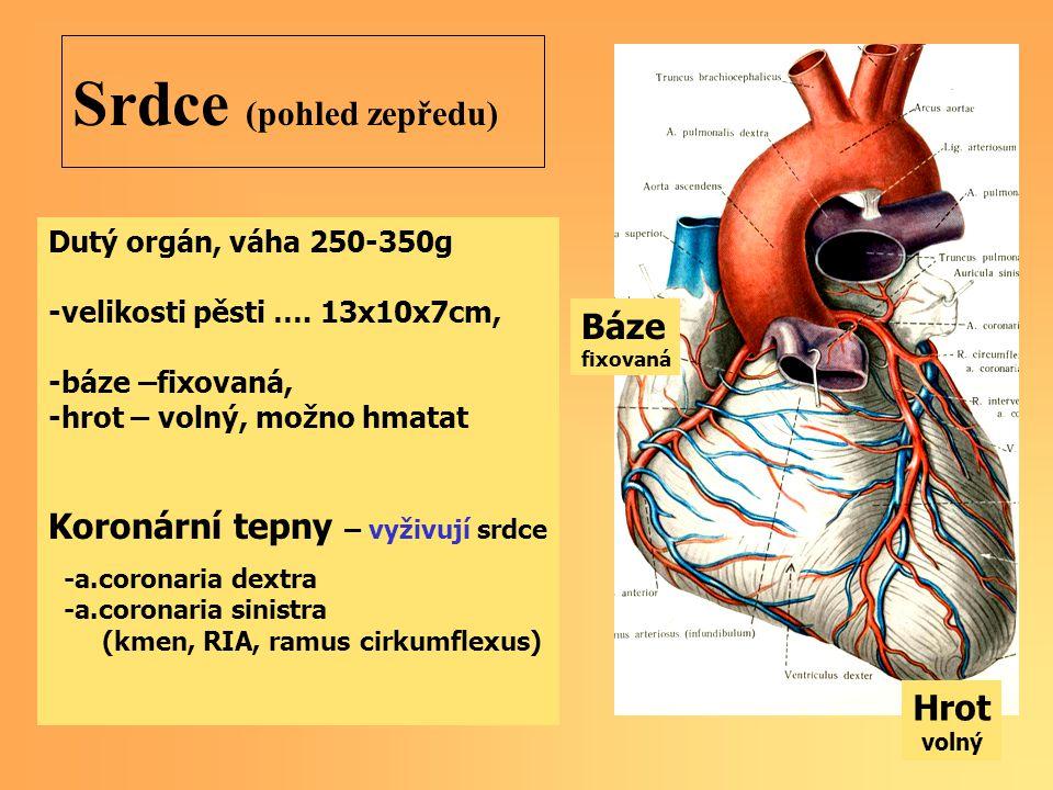 Srdce (pohled zepředu)