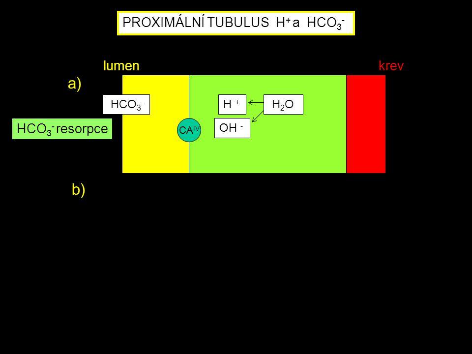 a) b) PROXIMÁLNÍ TUBULUS H+ a HCO3- lumen krev HCO3- resorpce HCO3-