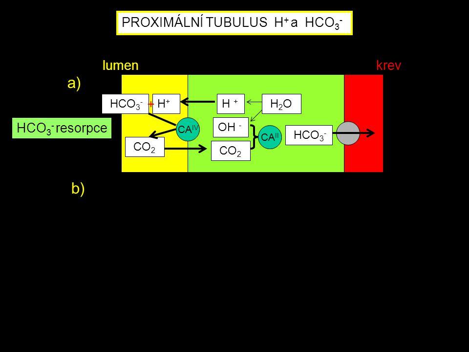 a) b) PROXIMÁLNÍ TUBULUS H+ a HCO3- lumen krev HCO3- resorpce HCO3- H+