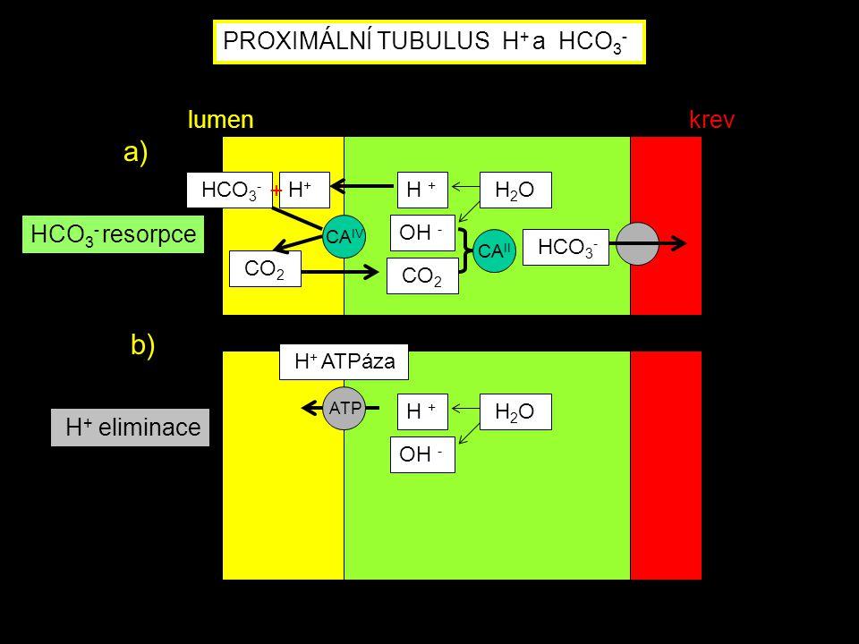 a) b) PROXIMÁLNÍ TUBULUS H+ a HCO3- lumen krev HCO3- resorpce