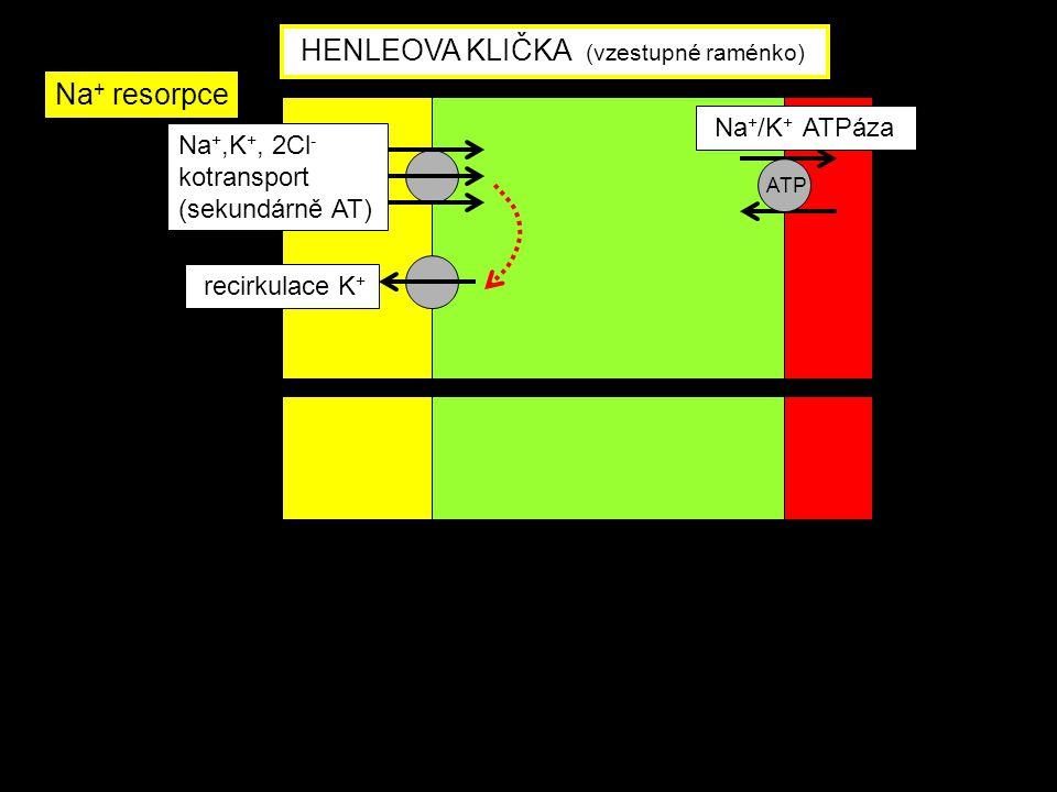 HENLEOVA KLIČKA (vzestupné raménko)