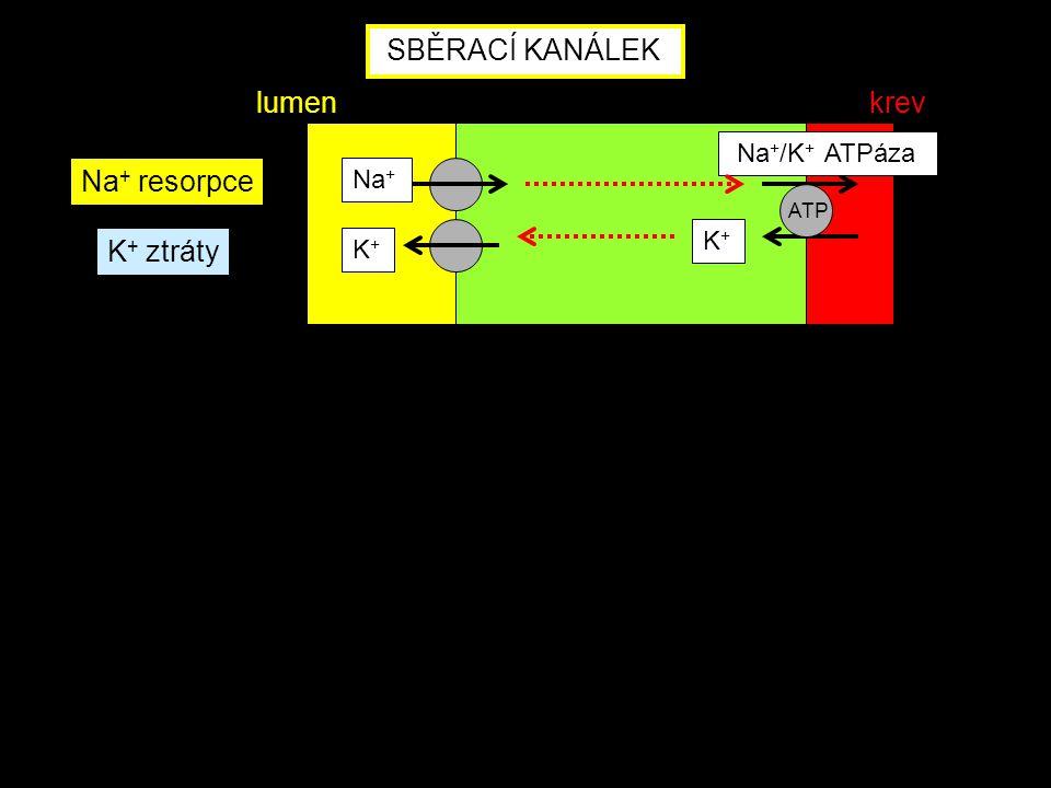 SBĚRACÍ KANÁLEK lumen krev Na+ resorpce K+ ztráty Na+/K+ ATPáza Na+ K+