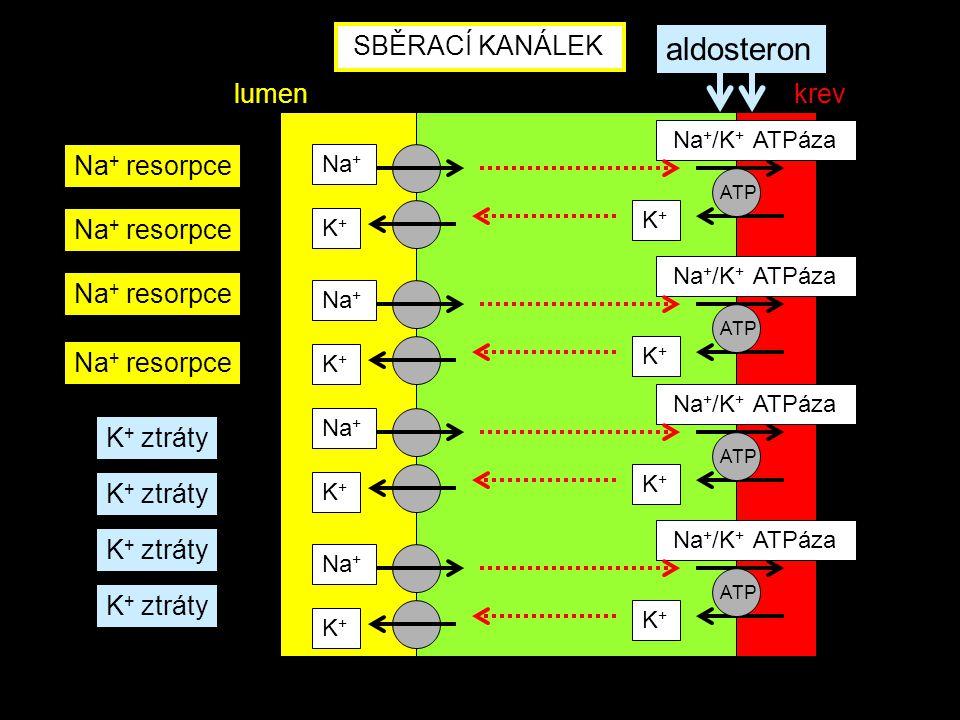 aldosteron SBĚRACÍ KANÁLEK lumen krev Na+ resorpce Na+ resorpce