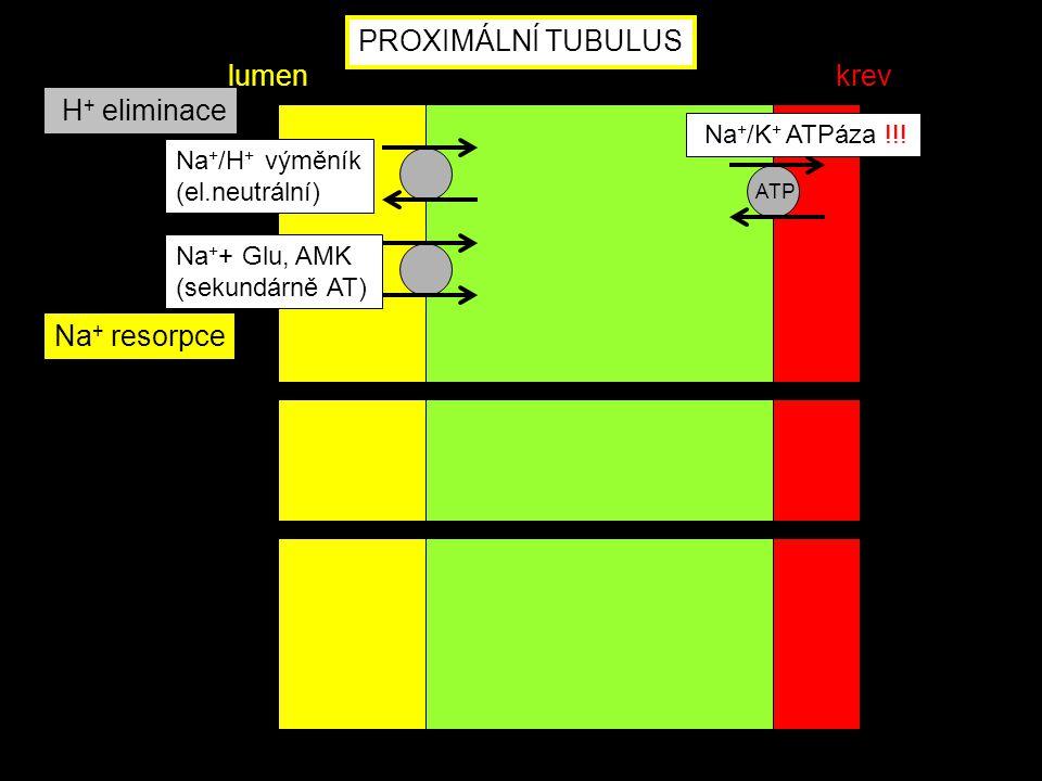 PROXIMÁLNÍ TUBULUS lumen krev H+ eliminace Na+ resorpce