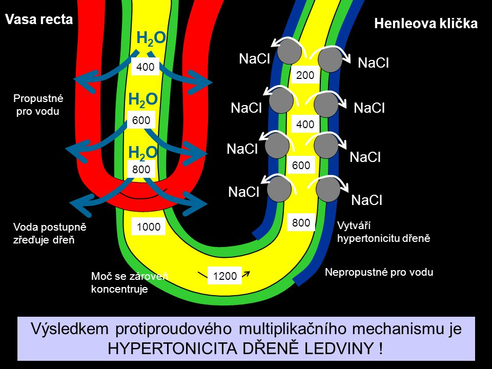 Vasa recta Henleova klička. H2O. NaCl. 400. 200. Propustné. pro vodu. H2O. 600. 400. H2O.