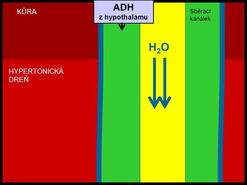 ADH z hypothalamu KŮRA Sběrací kanálek H2O HYPERTONICKÁ DREŇ