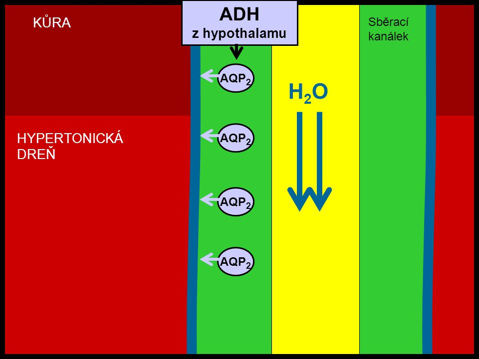 H2O ADH KŮRA z hypothalamu HYPERTONICKÁ DREŇ Sběrací kanálek AQP2 AQP2