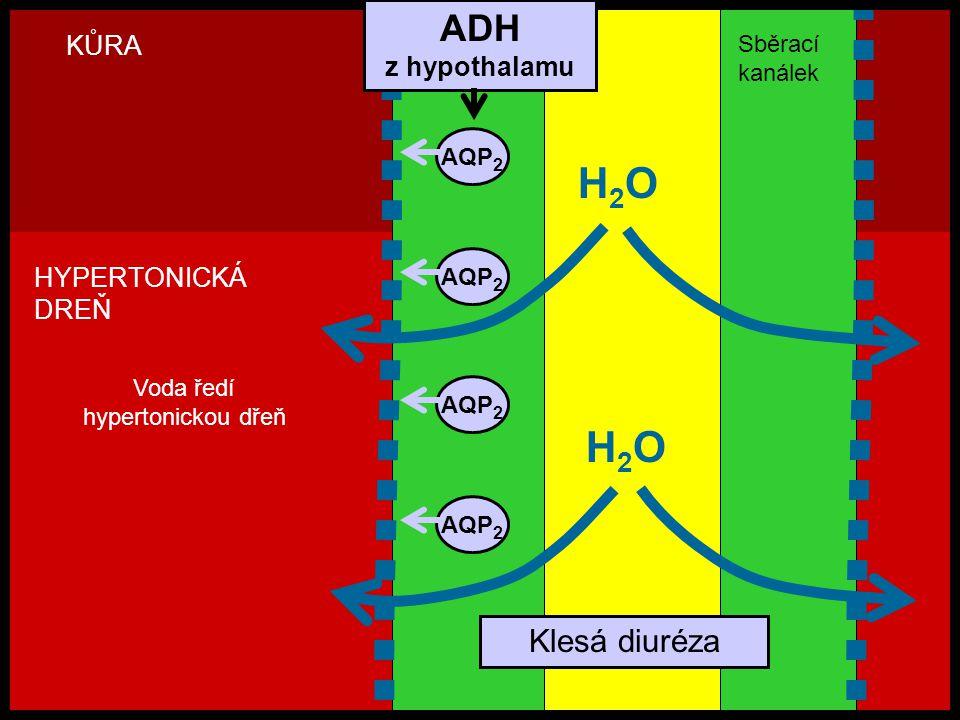 H2O H2O ADH Klesá diuréza KŮRA z hypothalamu HYPERTONICKÁ DREŇ Sběrací