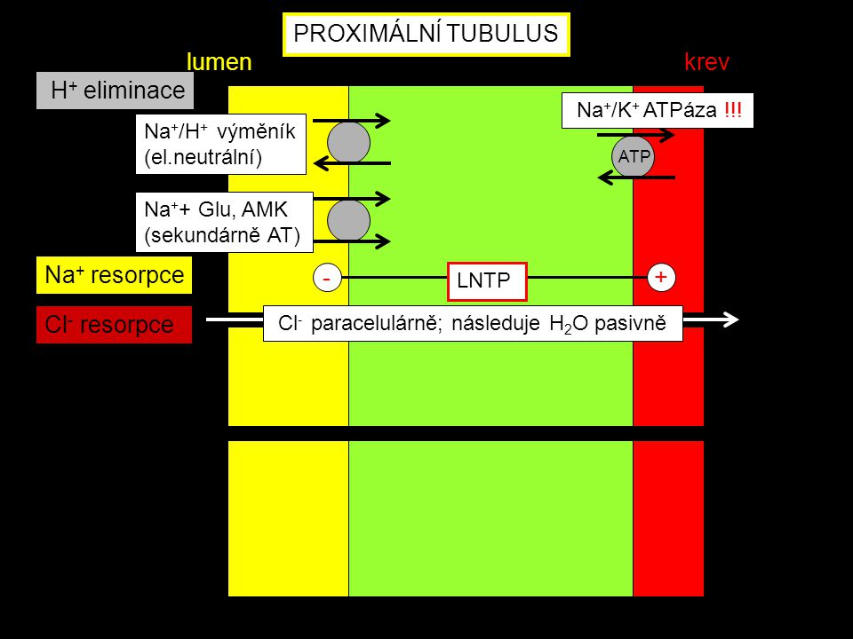 PROXIMÁLNÍ TUBULUS lumen krev H+ eliminace Na+ resorpce - +