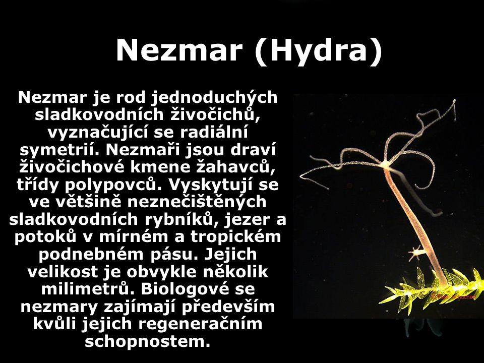 Nezmar (Hydra)