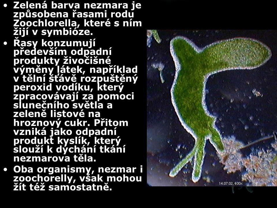 Zelená barva nezmara je způsobena řasami rodu Zoochlorella, které s ním žijí v symbióze.