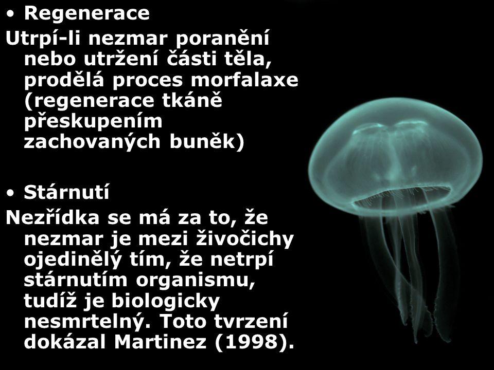 Regenerace Utrpí-li nezmar poranění nebo utržení části těla, prodělá proces morfalaxe (regenerace tkáně přeskupením zachovaných buněk)