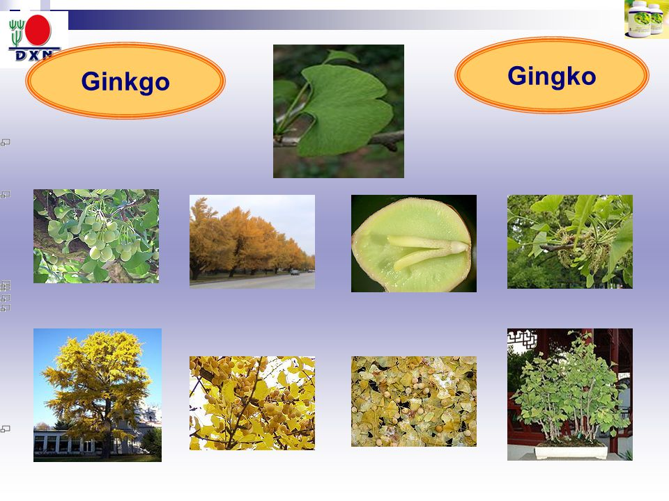 Gingko Ginkgo