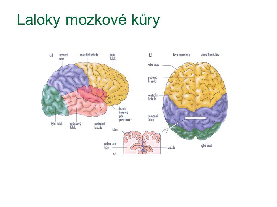 Laloky mozkové kůry