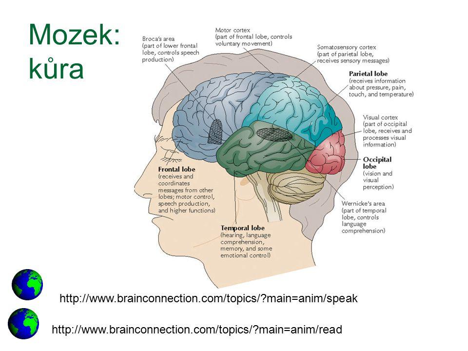 Mozek: kůra http://www.brainconnection.com/topics/ main=anim/speak