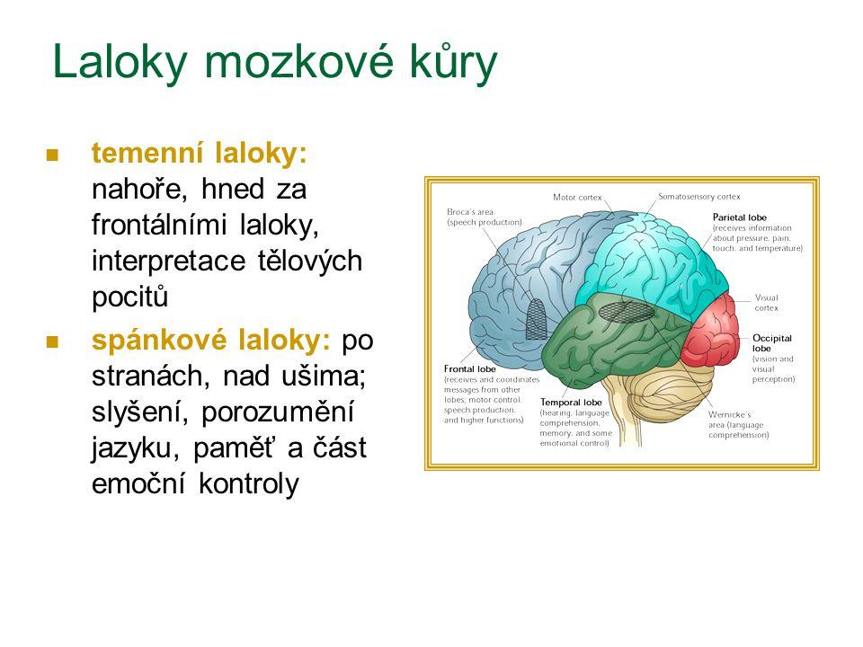 Laloky mozkové kůry temenní laloky: nahoře, hned za frontálními laloky, interpretace tělových pocitů.