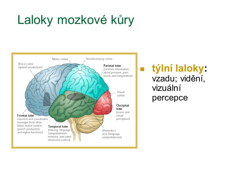Laloky mozkové kůry týlní laloky: vzadu; vidění, vizuální percepce