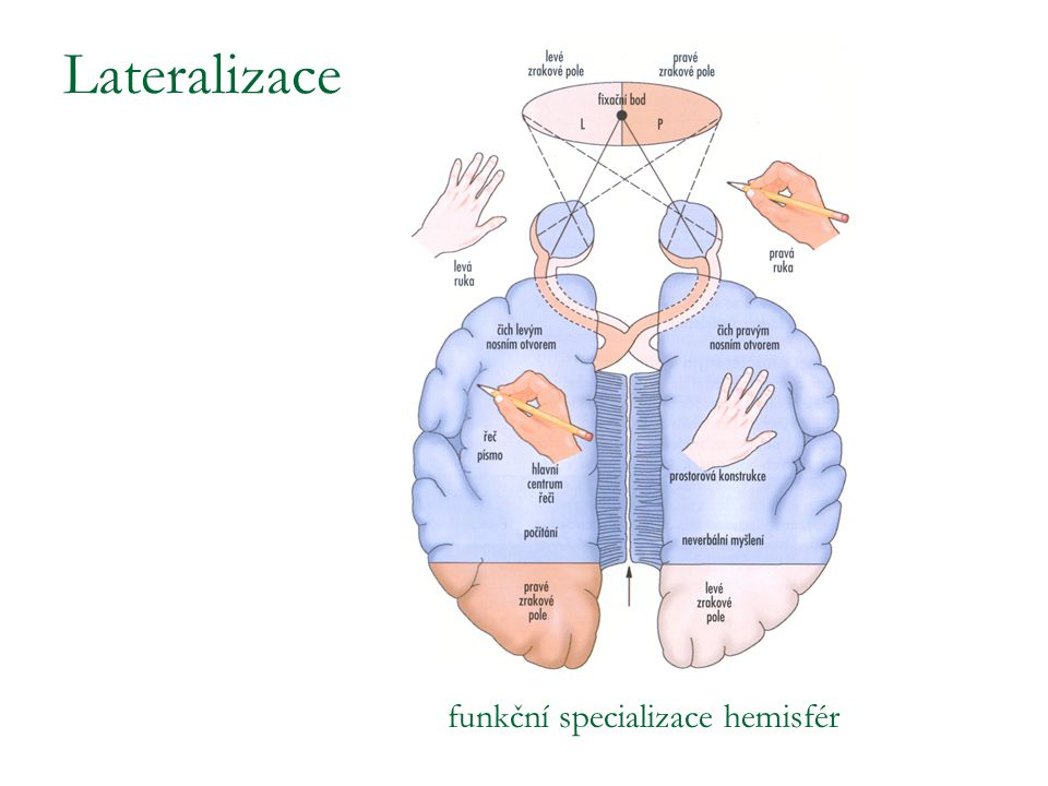 Lateralizace funkční specializace hemisfér