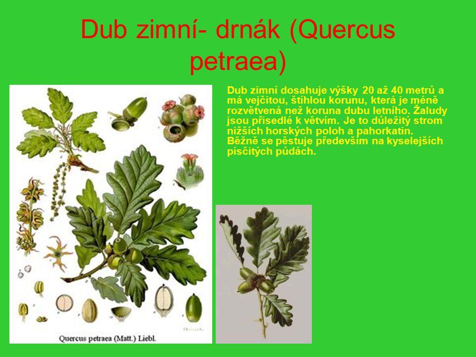 Dub zimní- drnák (Quercus petraea)