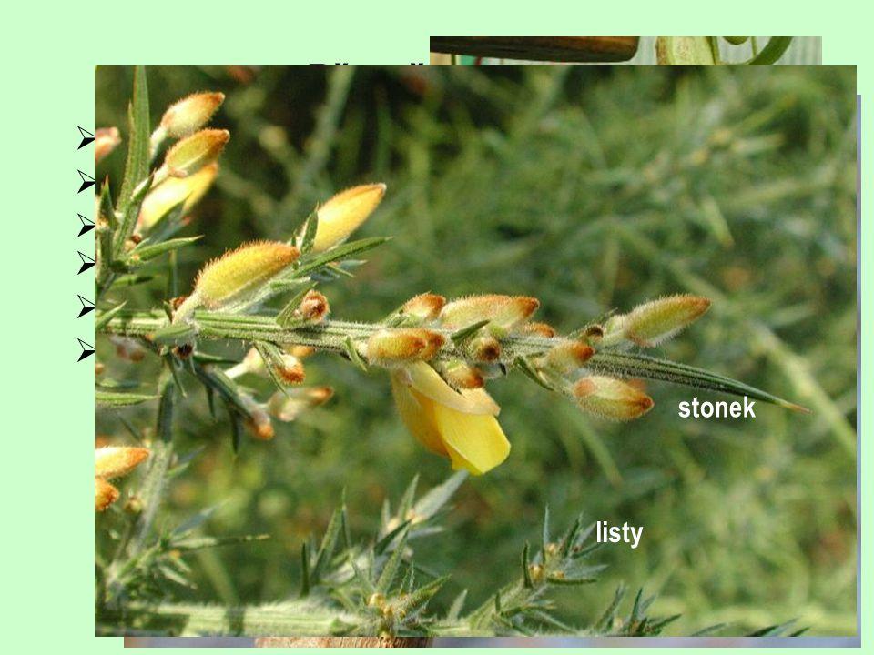 Přeměny listu cibule (plná, sukničitá, šupinovitá, složená)