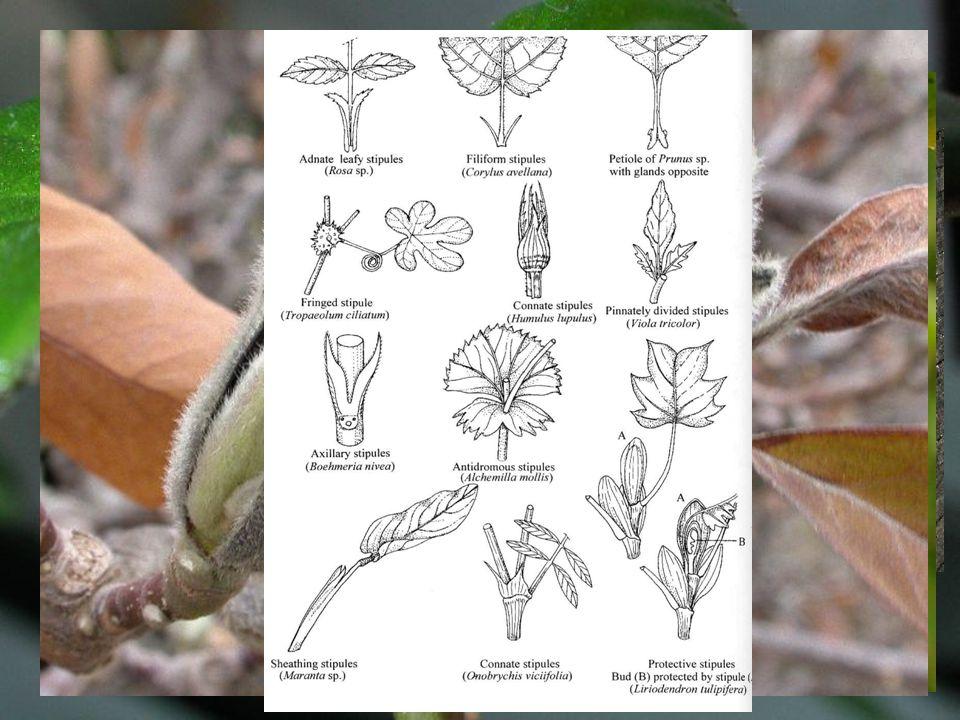 Palisty vyvíjejí se z listové báze mohou být