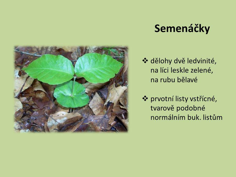 Semenáčky dělohy dvě ledvinité, na líci leskle zelené, na rubu bělavé