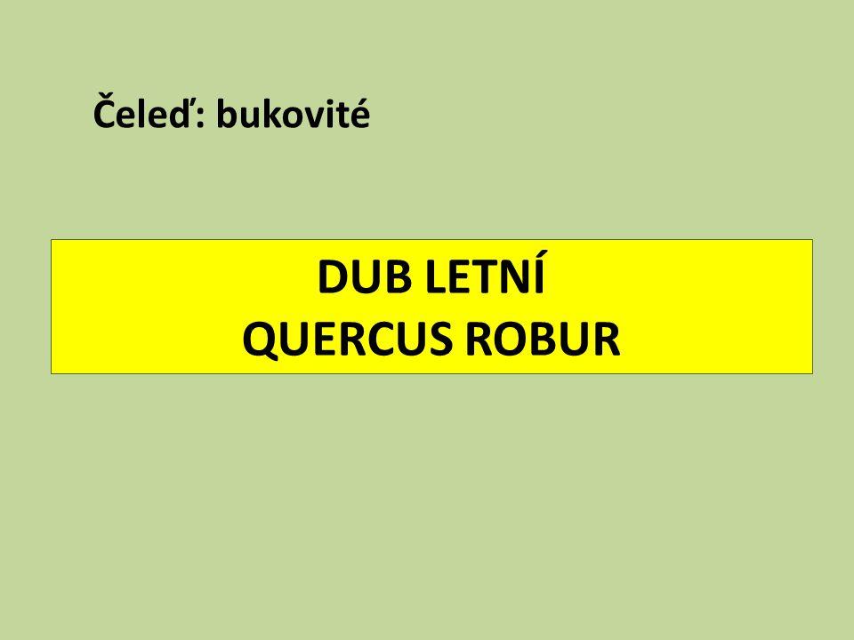 DUB LETNÍ QUERCUS ROBUR