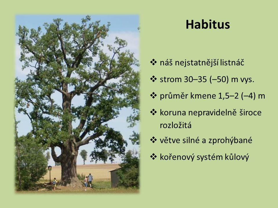 Habitus náš nejstatnější listnáč strom 30–35 (–50) m vys.
