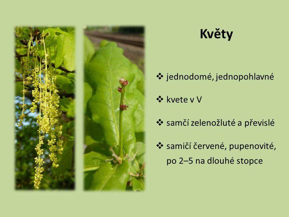 Květy jednodomé, jednopohlavné kvete v V samčí zelenožluté a převislé
