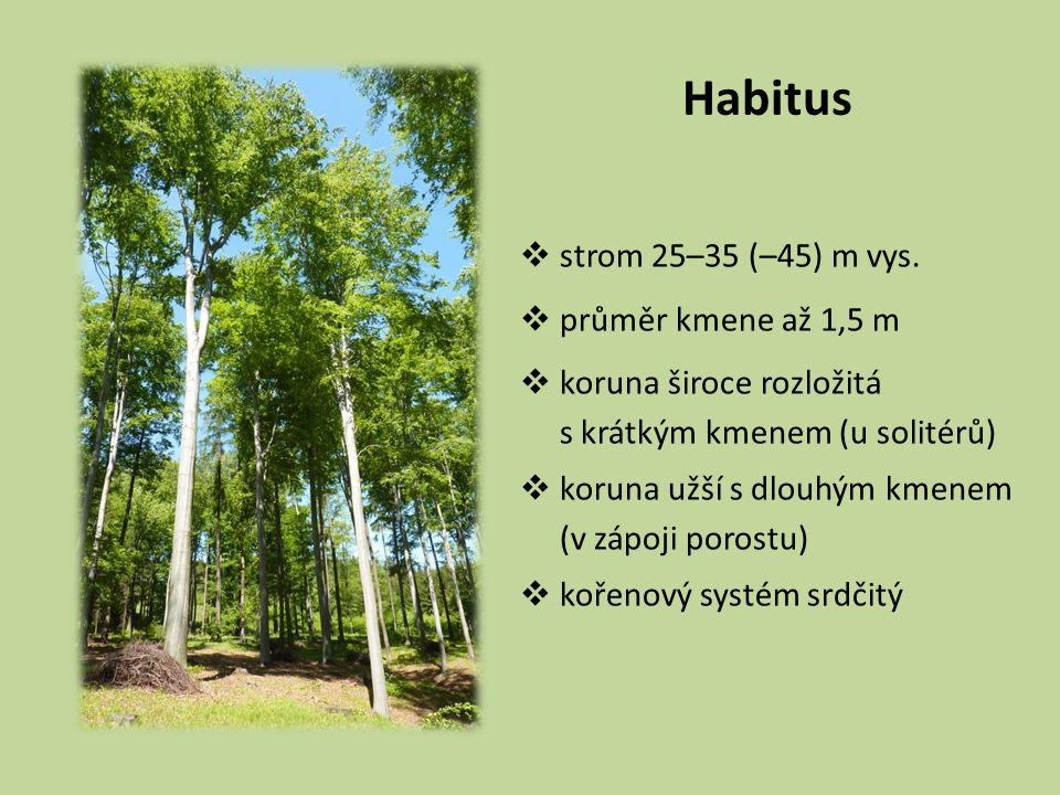 Habitus strom 25–35 (–45) m vys. průměr kmene až 1,5 m