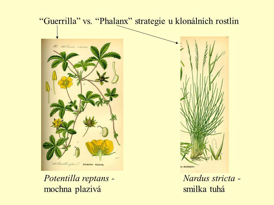 Guerrilla vs. Phalanx strategie u klonálních rostlin