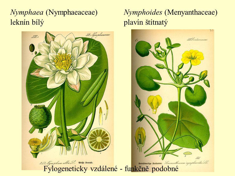 Nymphaea (Nymphaeaceae)